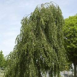 Tristis Weeping Silver Birch Tree (Betula pendula `Tristis`) Supplied height 1.5 to 2.0 metres in a 5-12 litre container **FREE UK MAINLAND DELIVERY + FREE 100% TREE WARRANTY**