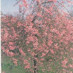 Weeping Spring Cherry Tree (Prunus pendula 'Pendula Rubra') Height 1.5 - 2.4m in a 10-25 Litre Container**FREE UK MAINLAND DELIVERY + FREE 100% TREE WARRANTY**