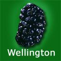 Wellington Black Mulberry Tree (Morus Nigra Wellington) Supplied 1.50 - 2.20 m, 2-3 Years Old, EATING + COOKING + SELF FERTILE **FREE UK MAINLAND DELIVERY + FREE 100% TREE WARRANTY**