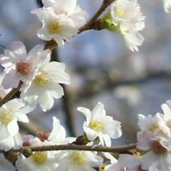 White Autumn Cherry Tree(Prunus x subhirtella Autumnalis) Supplied height 1.5 to 2.4m in a 7-12 litre container**FREE UK MAINLAND DELIVERY + FREE 100% TREE WARRANTY**