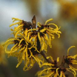 Witch Hazel (Hamamelis intermedia 'Arnold Promise') Supplied height 0.7 to 1.0 metre in a 12 litre container **FREE UK MAINLAND DELIVERY + FREE 100% TREE WARRANTY**