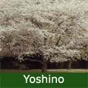 Yoshino Tree (Prunus Yedoensis) Supplied height 150 - 220cm in a 7 - 12 litre container**FREE UK MAINLAND DELIVERY + FREE 100% TREE WARRANTY**